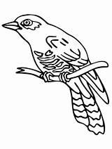 Cuckoo Coloring Bird Pages Lizard Common Birds Outline Perched Loca sketch template