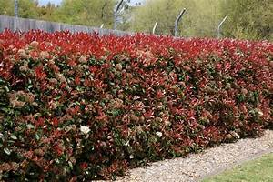 Photinia Red Robin : buy photinia x fraseri 39 red robin 39 sydney melbourne ~ Michelbontemps.com Haus und Dekorationen