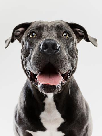 pit bull dog studio portrait stock photo  image