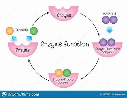 Enzyme Function Illustration Polymer Vector