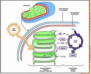 Photosynthesis Physics