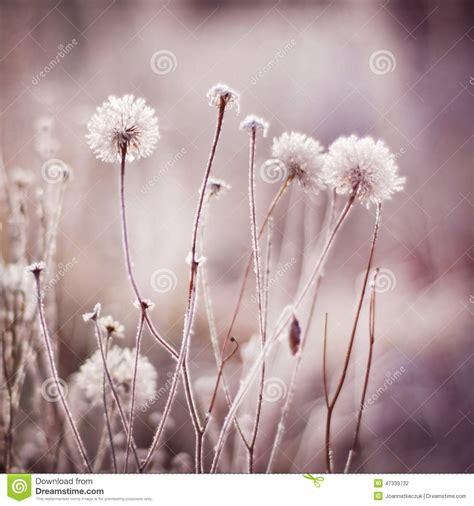 im winter blühende blumen gefrorene blumen anlagen natur im winter stockfoto bild winter schnee 47339732