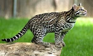 Ocelot | Animal Facts & Information | The Wildlife