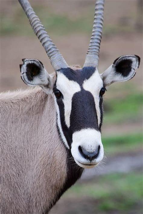 african oryx east gemsbok animals africa wildlife markings south facial flickr animal safari flic kr
