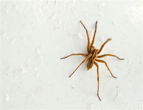 light brown spider light brown spider by pjohnny on deviantart
