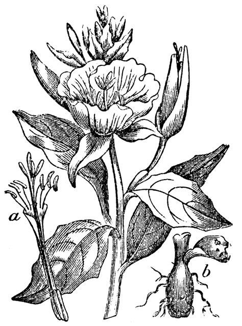 evening primrose clipart
