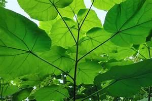 Pflanze Mit Großen Blättern : paulownia bilder paulownia baumschule schr der ~ Michelbontemps.com Haus und Dekorationen