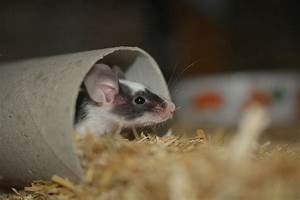 How To Get Rid Of Mice  Cost Of Diy Vs Professional Services