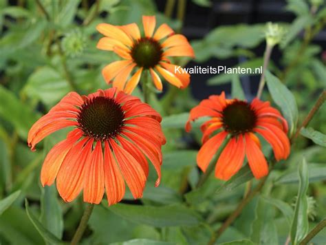 tangerine coneflower picture and description of echinacea purpurea tangerine dream www esveld nl