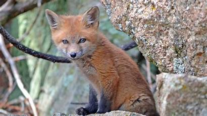 Forest Fox Charming Animals Wallpapers