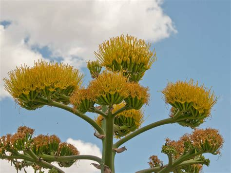 when to plant flowers agave americana century plant world of flowering plants