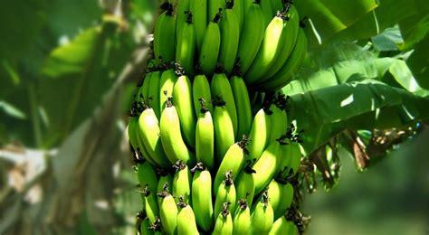 luminaires pour cuisine bananier plantation entretien et récolte