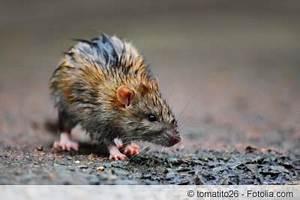 Ratten Im Kompost : rattenfalle mit k der selber bauen so geht 39 s ~ Lizthompson.info Haus und Dekorationen