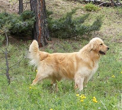 Golden Retriever Miniature Puppies Dogs Dog Breed