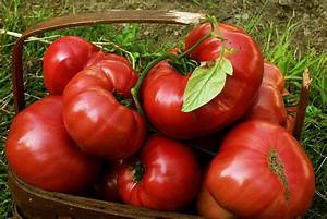 Heirloom Tomato Seeds | 100% Organic Tomato Seeds