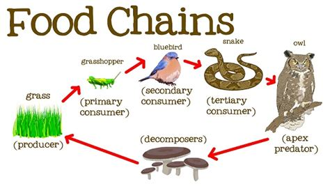 food chain definition examples types eschool