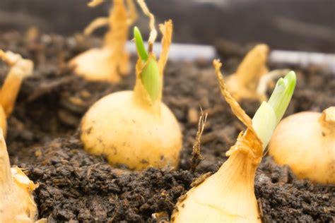 wann pflanzen allium 187 wann sollten sie zierlauch am besten pflanzen