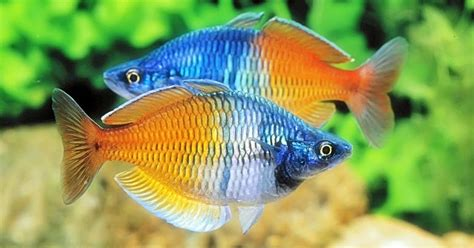 ikan rainbow boesemani akuarium ikan hias