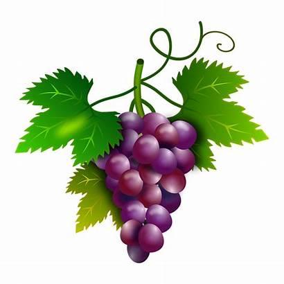Uvas Grapes Vine Wine Vineyard Orchard Vid