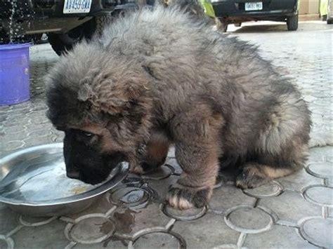 Russian Bear Hunting Dog Puppy