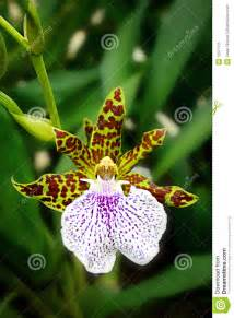 are orchids poisonous to cats leopard orchid stock image image 12377511