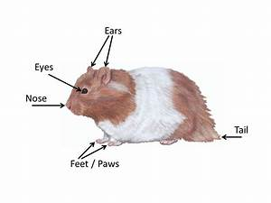 Hamster Anatomy