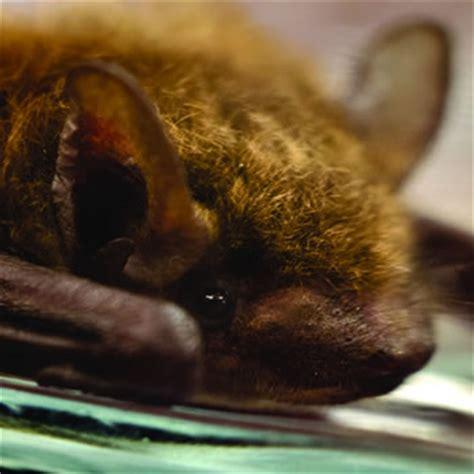 little brown bat catseye pest control