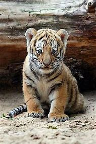 Cute Animal Babies Tiger