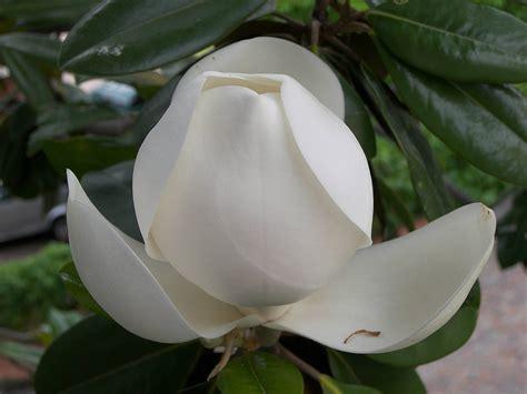 magnolia tree white flowers white magnolia flower newhairstylesformen2014 com