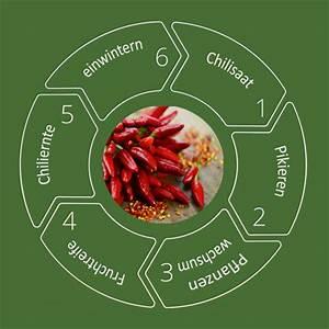Wann Süßkartoffeln Ernten : chilianbau zeitplan wann s en wann ernten chilipflanzen daheim ganz einfach ~ Buech-reservation.com Haus und Dekorationen