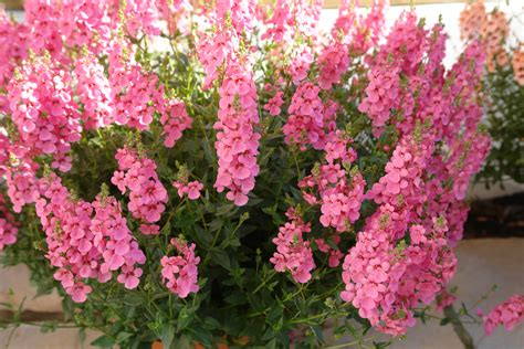 light pink flowers diascia towers of flowers 174 light pink planthaven