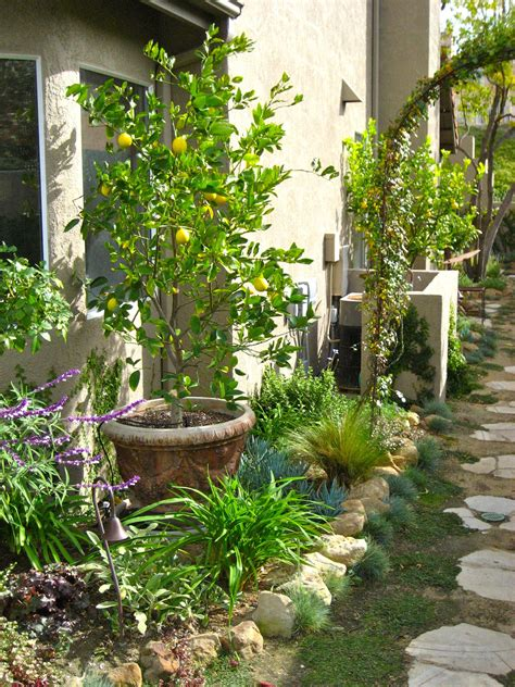 Dwarf Citrus Trees Planted In Containers Within The Small