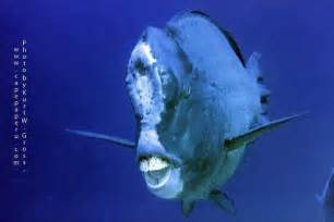 Guess what humphead parrotfish use that giant hump head for News Reef Builders   The Reef and
