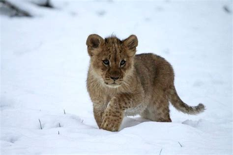 update snowy adventure  longleat lion cubs zooborns