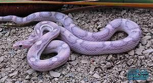 Lavender Corn Snake | Animal ♡ Love | Pinterest