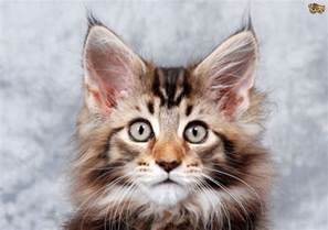 cats ears cat breeds with tufted ears pets4homes