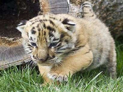 Tiger Cubs Cute Wallpapers Iages Wallpapers13
