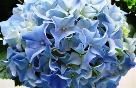 hortensienschnitt im herbst hortensien hydrangea pflege pflanzen schnitt 252 berwintern