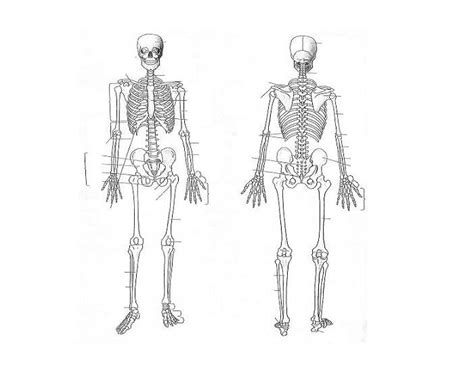 blank skeleton diagram camizuorg