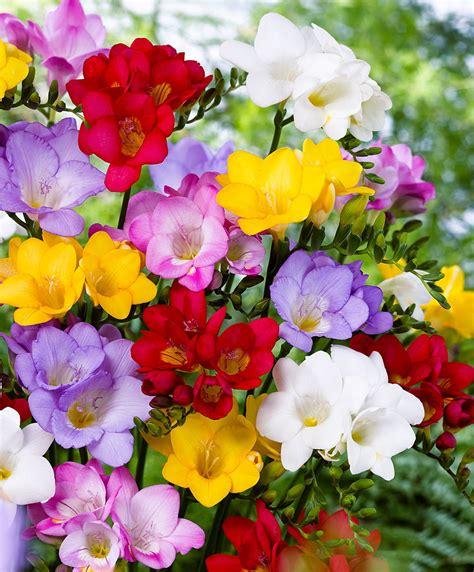 fresia bloemen s fresia mix kopen bakker