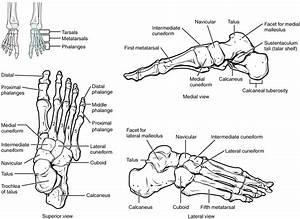 diagram of the foot printable diagram With view all 1 diagrams