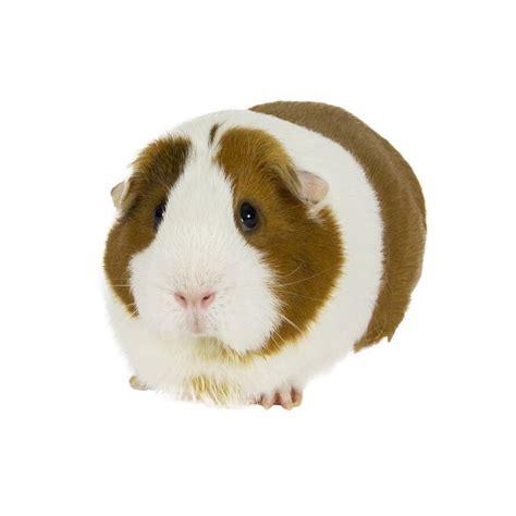 truffaut lisses siege cochon d 39 inde poils lisses autres marques animalerie
