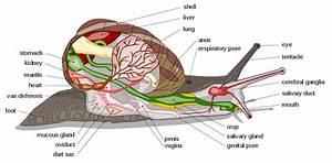Apple Snail Diagram
