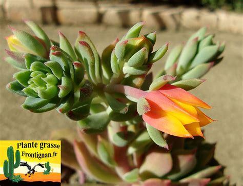 plante grasse fleur plante grasse fleur orange vap vap