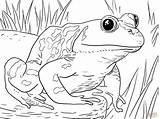 Coloring Frog Printable Bullfrog Above Challenge American sketch template