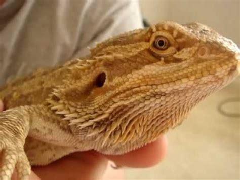 how to trim bearded dragon nails youtube a lizard life