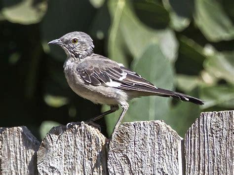 northern california birds driverlayer search engine