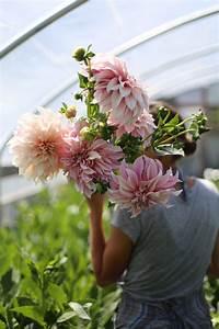 Café Au Lait : cafe au lait dahlia love floret flowers ~ Carolinahurricanesstore.com Idées de Décoration