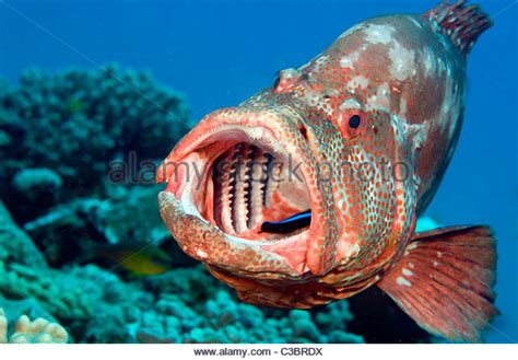 grouper cleaned being mouth alamy sea