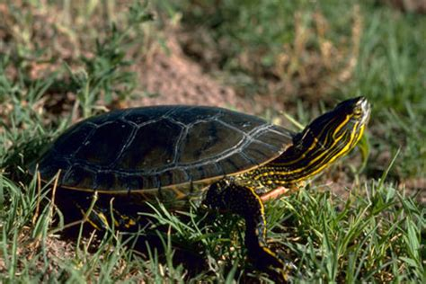 do turtles shed their shells do turtles shed